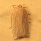 3684 - Clepsis clemensiana