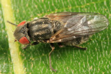 Lipara lucens (Large Cigar Gall Fly)