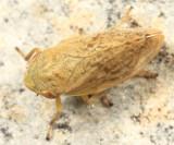 Meadow Spittlebug - Philaenus spumarius