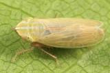 Diplocolenus sp. (teneral)