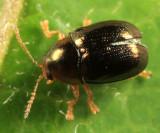 Bronze Leaf Beetle - Diachus auratus