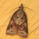 3740 - Tufted Apple Bud Moth - Platynota idaeusalis