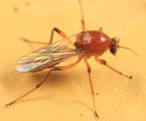 Palpomyia sp.
