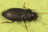 Xestonotus lugubris