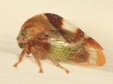 Cyrtolobus fuliginosus
