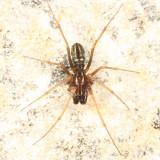 Microlinyphia mandibulata mandibulata (male)