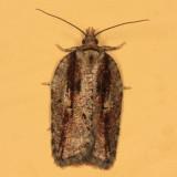 3542 - Acleris flavivittana