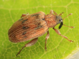 European Elm Flea Weevil - Orchestes alni