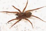 Trebacosa marxi (male)