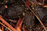 Trichobolus zukalii