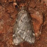 6258 - Fall Cankerworm Moth - Alsophila pometaria