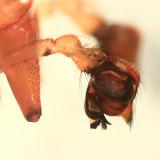 Pityohyphantes subarcticus (pedipalp)