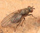 Sapromyza brachysoma
