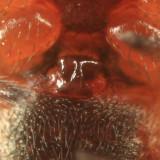 Hypsosinga rubens (epigyne)
