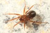 Centromerus sylvaticus