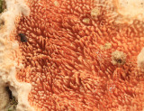 Steccherinum ochraceum