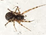 Neriene clathrata (immature female)