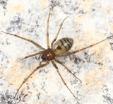 Bathyphantes brevis