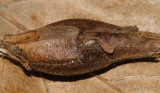 1986 - Goldenrod Elliptical-Gall Moth - Gnorimoschema gallaesolidaginis (gall)