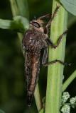 Proctacanthus nigriventris