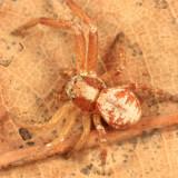 Xysticus punctatus (female)