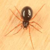 Souessa spinifera (female)