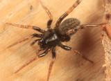 Wolf Spiders - Genus Allocosa