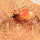 Ceraticelus sp.
