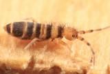 Orchesella hexfasciata