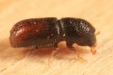 Pityogenes hopkinsi