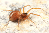 Tenuiphantes sabulosus (female)