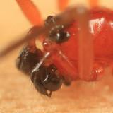 Styloctetor purpurescens