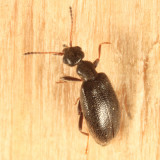 Sapintus pubescens