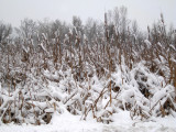 Cattails after a snow storm