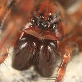 Coras lamellosus (female)