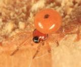 Thymoites unimaculatus