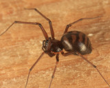 Bathyphantes pallidus (female)