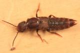 Platydracus zonatus