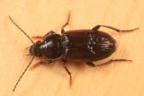 Stenolophus fuliginosus