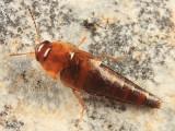 Tachyporus abdominalis