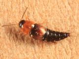 Tachyporus canadensis