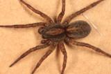 Trochosa terricola (female)