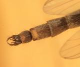 Chironomus subgenus Chironomus