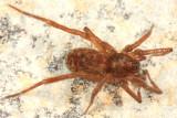 Agroeca ornata (female)