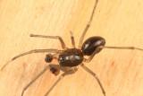 Bathyphantes pallidus