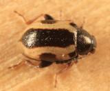 Phyllotreta liebecki