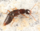 Erichsonius brachycephalus