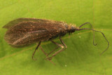 Lepidostoma reosum