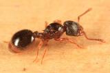 Myrmecina americana (queen)
