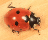 Seven-spotted Lady Beetle - Coccinella septempunctata